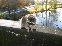 A raccoon sits on the parapet of a bridge.