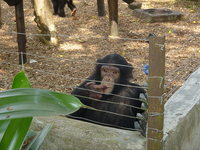 Young chimpanzee sitting in a corner of its enclosure with a finger in its mouth