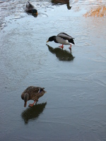 A mallard duck and drake walking around feeding on ice, in the background some others are swimming.