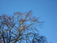 Bare winter trees against a clear blue sky, lit by the low sun.