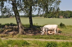 Cows below a tree by the banks of a canal.  In the background fields under a blue sky.