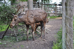 An adult female elk and her young calf stand in a fenced enclosure.