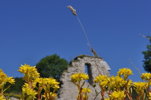 Bright yellow flowers against a vivid blue sky.  In the background (out of focus) a ruined wall can be seen.