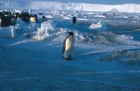 Emperor penguin, group to one side, cliffs in background