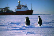 Penguins in front of Shackleton