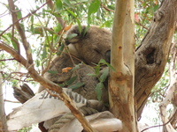 A koala sleeping in a tree, perched on top of a plastic sack.