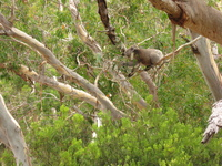 A koala stretching to reach some eucalyptus leaves in another branch.