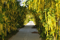 A path goes under an arch of bright yellow flowers.