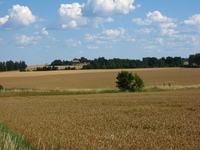 Fields of golden crops stretch away from the camera, divided in the middle by a hedge with a single tree.  In the background red-painted farm buildings sit among trees.