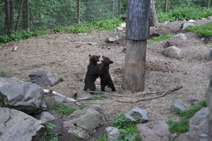 Two bear cubs standing on their hind legs play-fighting in a large wooded enclosure.